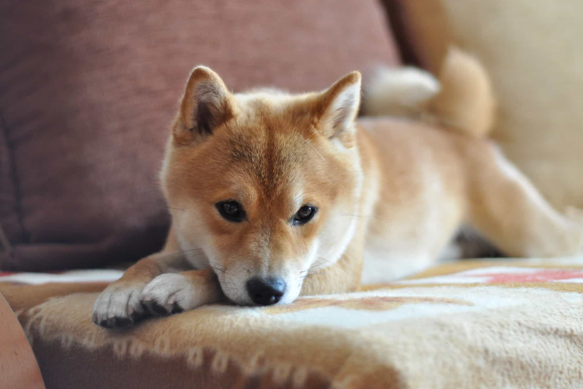 Cryptodog? Tesla founder, Elon Musk, confuses crypto investors on Twitter and the cryptocurrency Shiba Inu overvalues by 150%.